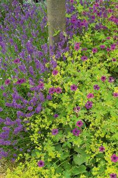 Lavender, Alchemilla & Geranium Planting, landscape design, landscape architecture, landscaping, garden design, planting combinations, colorful garden options