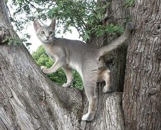 blue abyssinian cat 4 Funny Cat Wallpapers