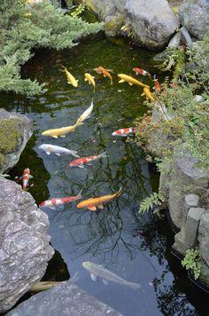 Tokio – Nishikigoi v jazierku čajovne – Home Trends 2020 Koi Fish Pond, Koi Carp, Fish Ponds, Backyard Water Feature, Ponds Backyard, Koi Pond Design, Carpe Koi, Pond Fountains, Pond Waterfall