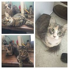 URGENT!! Everman, TX - Domestic Shorthair. Meet Charlie and Marley, a kitten for adoption. Everman Animal Shelter Contact: Bryce Caulk Phone: (817) 561-5495 E-mail: evermanadopts@gmail.com Website: http://www.facebook.com/SidekicksoftheEvermanAnimalShelter * http://www.adoptapet.com/pet/16485792-everman-texas-kitten