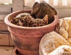 cats hiding in terra cotta pot