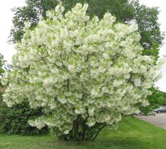 We are NZ wholesale suppliers of large-grade quality specimen trees. Home Garden Plants, Garden Shrubs, Garden Trees, Landscaping Plants, Trees And Shrubs, Flowering Trees, Trees To Plant, Above Ground Garden Bed, Fringe Tree
