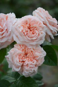 Hybrid Tea Rose: Rosa 'Stile 800'