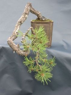 Pinus ponderosa  Artist - Dean Bull  Michigan