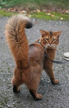 Terrific Pic cat breeds somali Ideas Pet cats by using massive ear may become essentially the most adorable animals inside world. Animals And Pets, Baby Animals, Funny Animals, Funny Cats, Cute Animals, Cute Cats And Kittens, Cool Cats, Kittens Cutest, Ragdoll Kittens