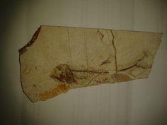 Scopeloides sp., Oligocene, Menilite Beds, Carpathian Mountains, Poland; Size: Fossil fish is 9 cm in lenght; Photo © Albin48