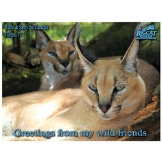 Post Card - Caracal, Greetings from Wild Friends