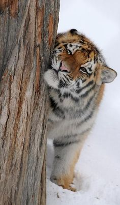 What a beautiful Siberian tiger!