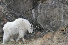 South Dakota Mountain Goat Stay at http://hartranchresort.com/ during your family camping experience!