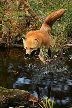 25 Fox Running Photos and Pictures - meowlogy Nature Animals, Animals And Pets, Funny Animals, Cute Animals, Beautiful Creatures, Animals Beautiful, Fox Running, Fuchs Baby, Fuchs Illustration