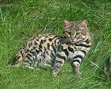 The black-footed cat - Google Search