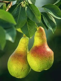 Oregon designated the pear (Pyrus communis) as the official state fruit in 2005. Oregon produces a variety of pears including Comice, Anjou, Bosc, and Bartlett.  Pears are the top-selling tree fruit crop in Oregon. Pears grow particularly well in the Rogue River Valley and along the Columbia River near Mt. Hood.