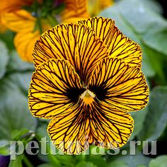 Виола Tiger Eye Yellow Improved - 5 шт