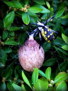 Female Yellow Argiope Spider with Egg Sac  By Maureen McDonald