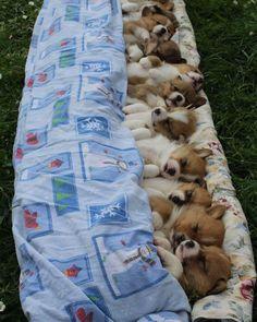 いいね!21.3千件、コメント242件 ― @puppy.hdのInstagramアカウント: 「All tucked in」