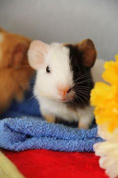 Mom can I have one!! I need one so bad lol never in a million years! ITS A MINI GUINEA!!!?!?!?! Hahaha