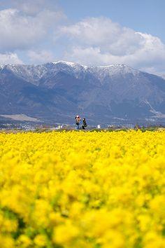Tenderstem broccoli - Yellow Flowered around Lake Biwa Valley, Shiga, Japan