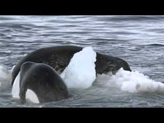The footage is impressive, and slightly unnerving. Several orcas, swimming abreast, approach an Antarctic ice floe on which is resting an unsuspecting seal. The whales dive just beneath the ice, generating a wave that cracks the floe and washes the seal into the water. Desperately, the seal clambers back on to the ice's remnants, only for the orcas to tip the slab over and dump their putative prey back into the ocean. Somehow, the pinniped evades capture and clambers out on to a larger floe; but