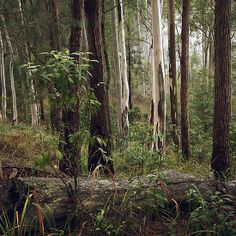 Aussie bush scene on a misty morning