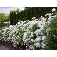 Rosa - Iceberg Shrub Roses - Hedge - Screen - Boething Treeland Farms