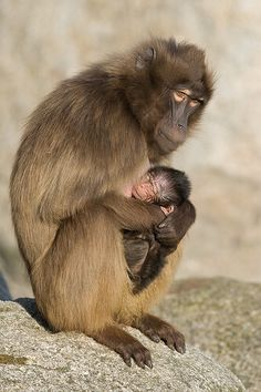 gelada mother and baby