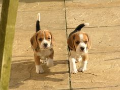 Are you interested in a Beagle? Well, the Beagle is one of the few popular dogs that will adapt much faster to any home. Whether you have a large family, p Baby Beagle, Beagle Puppy, Cute Beagles, Cute Puppies, Cute Dogs, Dogs And Puppies, Doggies, Puppy Obedience Training, Basic Dog Training