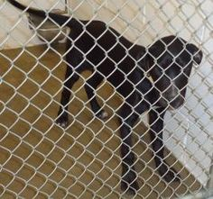 13-0493 is an adoptable Pit Bull Terrier Dog in Emporia, KS. found on constitution...