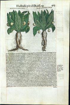 Mandragora, 1555, Dioscorides, De materia medica. Español, La Biblioteca Digital Hispánica, P. 439 [Mandragora Mas- Mandragora Foemina]