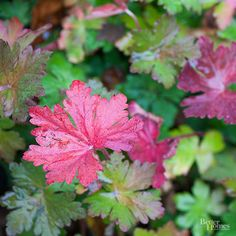 Boast this lush color in your fall garden with Geranium macrorrhizums.