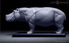 Hippopotamus Anatomy model 1/16th scale - flesh & superficial muscle – Jun's anatomy