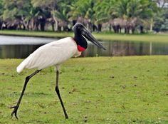 Photo Jabiru (Jabiru mycteria) by Jarbas Mattos