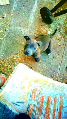 Blue nose pitbull(: