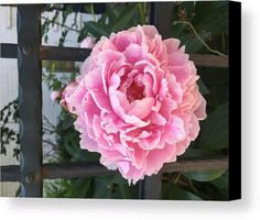 Flower Canvas Print featuring the photograph I Want To Be Free. Peony by Marina Usmanskaya #MarinaUsmanskayaFineArtPhotography #Peony #FineArtPrints #ArtForHome