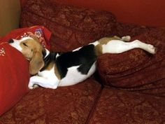 typical beagle sleeping position Everything you need to know about beagles