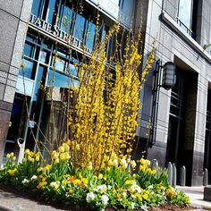 "Tulips, pansies, and forsythia make for a very ""springy"" look! I love spring and the refreshness it brings!  #spring #Boston #plantscape #exteriordesign #exteriorplants #newengland"