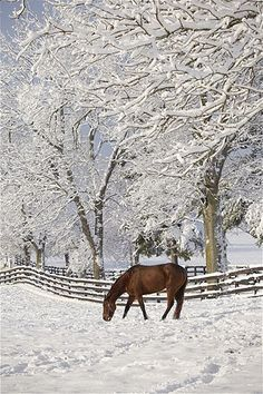 Keystone/ZUMA/Rex Features  A thoroughbred stands in a snow-covered pasture in Lexington, Ky