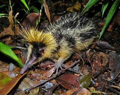 Lowland Streaked Tenrec, Mantadia, Madagascar. A tenrec is any species of mammal within the family Tenrecidae, found on Madagascar and in parts of the African mainland. Tenrecs are widely diverse; as a result of convergent evolution they resemble hedgehogs, shrews, opossums, mice and even otters. They occupy aquatic, arboreal, terrestrial and fossorial environments.