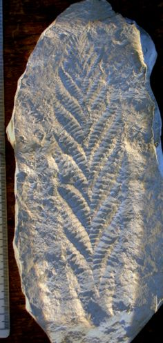 Charnia: genus name of a frond-like Ediacaran life form w/segmented ridges branching alternately to the right & left from a zig-zag medial suture. It is a type of fractal life form that grew on the sea floor & is believed to have fed on nutrients in the water. Charnia is not a plant; it lived deep down on the ocean floor, which had too little sunlight for photosynthesis to occur