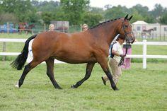 Irish draught mare Avanti Racey Gracie