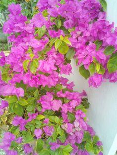 Beautiful bougainvilleas in bloom - my sister's garden in Trinidad