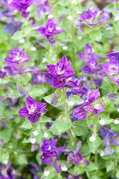 Salvia viridis 'Marble Arch Blue'