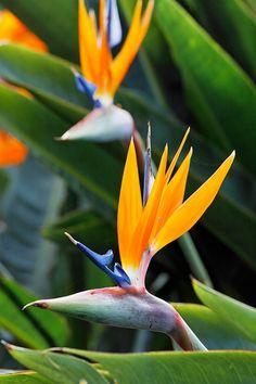 Birds of Paradise (Strelitzia) - South Africa