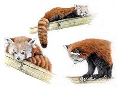 red panda draw - Google-Suche