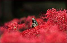 https://flic.kr/p/MBKRRZ | Visitor (cluster amaryllis) | A happy weekend!