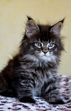 Interested in owning a Maine Coon cat and want to know more about them? We've made this site to tell you all you need to know about Maine Coon Cats as pets Pretty Cats, Beautiful Cats, Animals Beautiful, Beautiful Gorgeous, Absolutely Gorgeous, Beautiful Pictures, Cute Kittens, Cats And Kittens, Tabby Cats