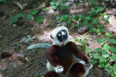 Go Into the Wild at Duke Lemur Center | Chapel Hill Magazine