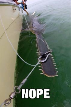 The Saw Of The Sea - I do hope that this fish was released back to the wild. It is a very endangered animal with the estimation of less than 5% of the population of sawfishes twenty years ago. That's a very grim prognosis for a very unusual fish.