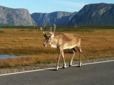 A Caribou in Gros Morne National Park, Newfoundland, Canada