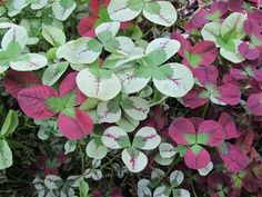 Trifolium repens 'Isabella' & 'Dragons Blood'