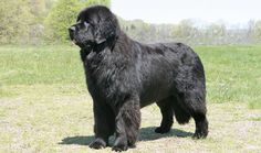 Nanny Dog Breeds - Majority of big, yet gentle breed or mixed dog breed can be considered as nanny dogs if they possess the right mixture of strength, intelligence, and . Giant Dog Breeds, Giant Dogs, Large Dog Breeds, Big Dogs, Large Dogs, Dogs And Puppies, Newfoundland Breed, Kangal, Le Plus Grand Chien
